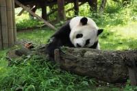 מרכז מחקר של דובי פנדה הענק Chengdu Panda